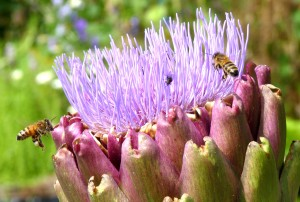 Honeybees on artichoke - Photo P Perry